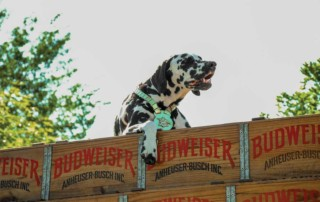 Dalmation in the back of a budweiser truck