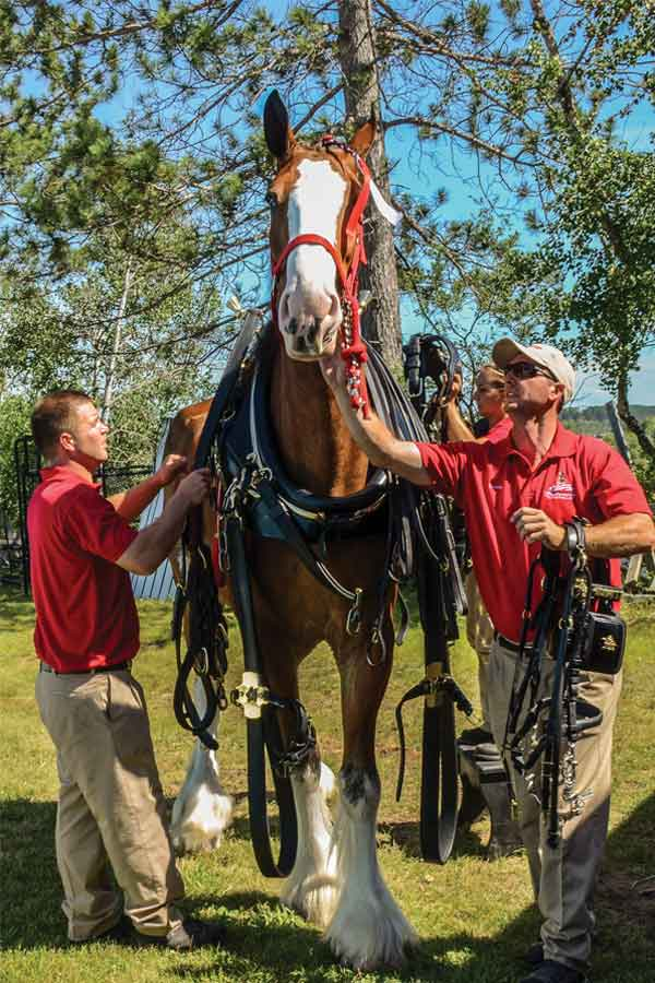 Clydesdale horse with workers